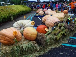 Giant pumpkins lined up for judging