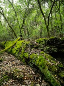 Green forest with decaying log