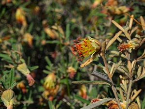 Bush wildflowers - yellow with red tips