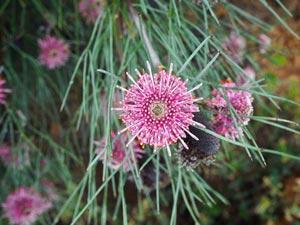 Pink Isopogan flower