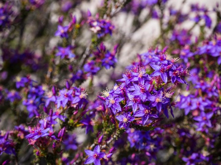 Purple wildflowers in Wongan Hills
