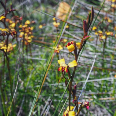 donkey-orchid-yilliminning-rock