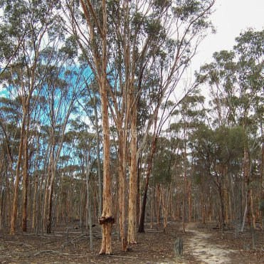 Wandoo Walk in Dryandra Woodland