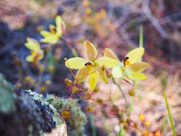 yilliminning-rock-orchid